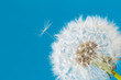 Dandelion clock, close-up, macro - Image .