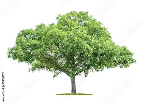 Fotografia, Obraz  Isolated tree on a white background - Juglans regia - Walnut