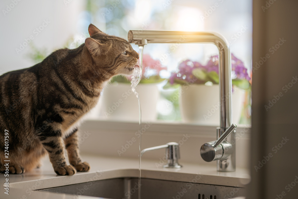 Fototapeta Beautiful short hair cat drinking water from the tap at the kitchen - obraz na płótnie