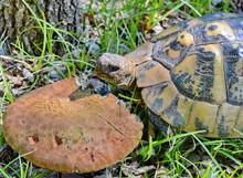Forest Turtle In A Natural Env...