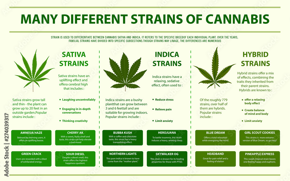 Fototapety, obrazy: Many Different Strains of Cannabis horizontal infographic illustration about cannabis as herbal alternative medicine and chemical therapy, healthcare and medical science vector.
