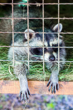 Raccoon In A Cage Stretched His Paws