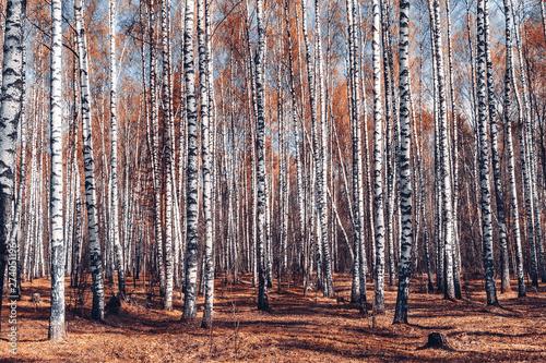 bialej-brzozy-lasowy-tlo-przy-spadkiem-brzoza-tekstury