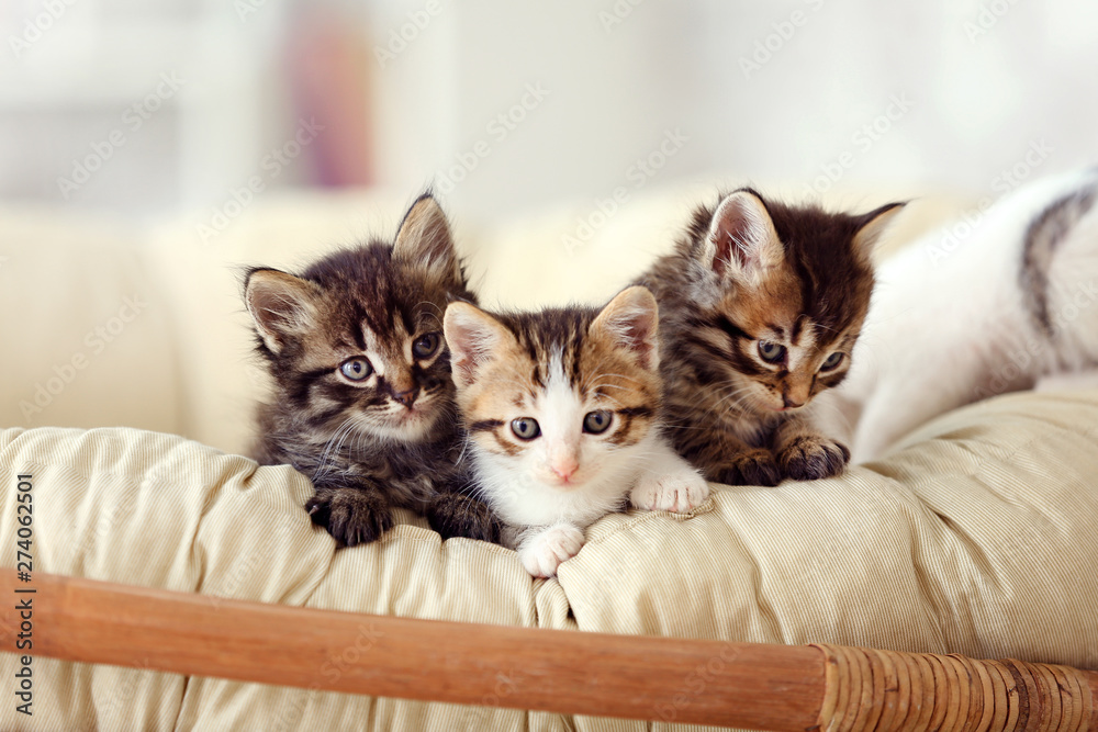 Fototapety, obrazy: Cute funny kittens at home