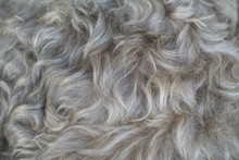 Closeup Surface Schnauzer Dog Hair Textured Background