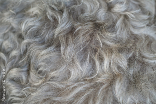 Fotografija Closeup surface schnauzer dog hair textured background