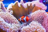 Clown fish swimming in the corals.
