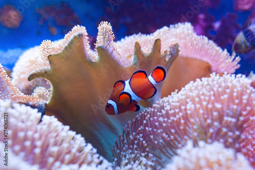 Clown fish swimming in the corals. Wallpaper Mural