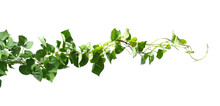 Ivy Plant Isolate On White Bac...