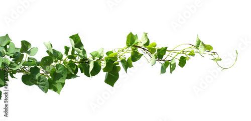 ivy plant isolate on white background Canvas