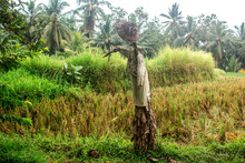 Traditional Balinese Scarecrow Made Of Old Clothes And Banana Leaf, With A Straw Hat. Rural Landscape Of Rice Field