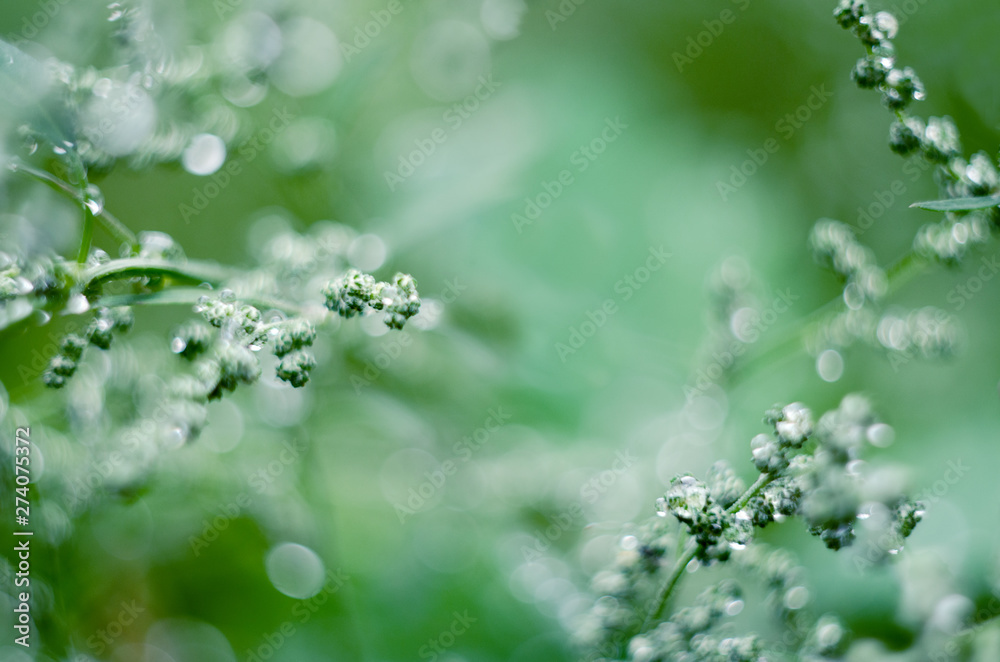 Fototapety, obrazy: Soft focused abstract background. Meadow grass under dew drops, after the rain. Beautiful nature background.