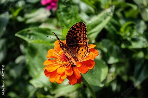Beautiful Orange Butterfly on Zinnia