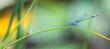 Libelle, Azurjungfer