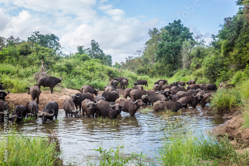 Keuken foto achterwand Buffel African buffalo in Kruger National park, South Africa
