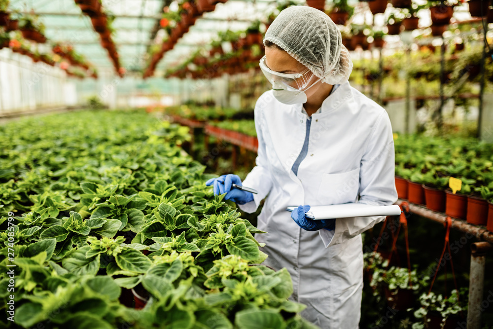 Fototapeta Greenhouse botanist examining growth of potted plants.