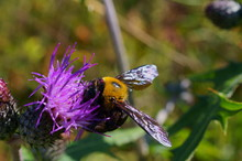 Purple Flower And Carpenter Bees