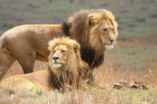 Two Large Male Lions With Black Manes