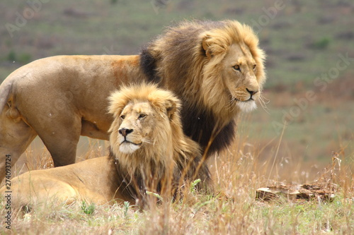 Two large male lions with black manes Wallpaper Mural