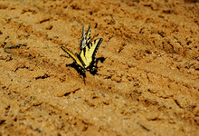 Monarch Butterflies On Brown Sand