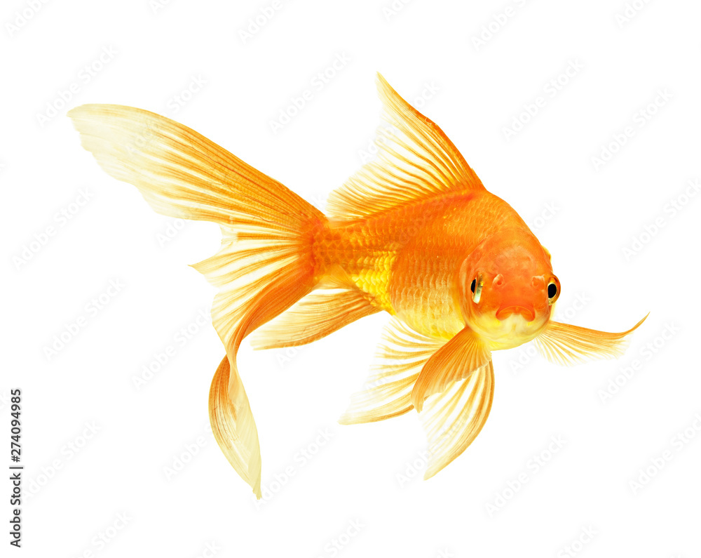 Fototapeta gold fish