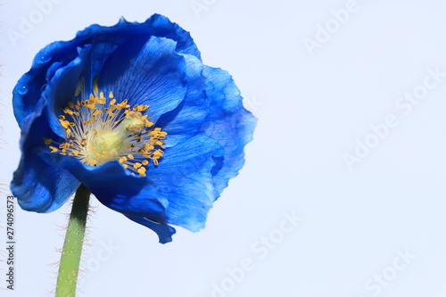 Autocollant pour porte Poppy Himalayan blue poppy