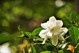 Pretty gardenia flower (Gardenia jasminoides) blooming in the green garden background , Spring in GA USA.