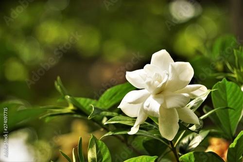Pretty Gardenia Flower Gardenia Jasminoides Blooming In The