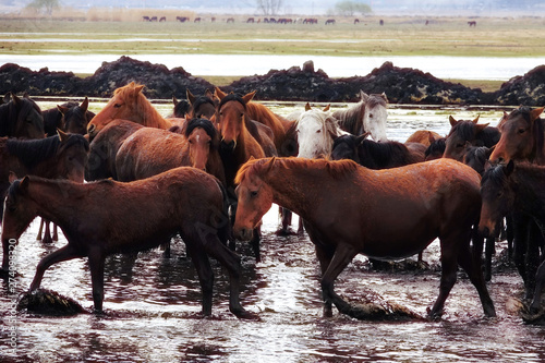 Close up herd of wild horses in water over countryside landscape
