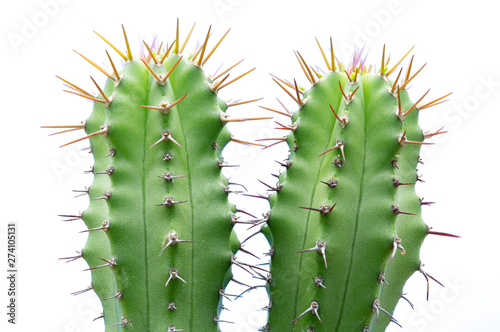 close up of cactus isolated on white background