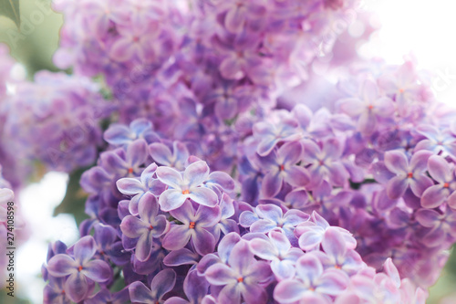 Foto op Plexiglas Lilac Lilac flowers purple and soft pink summer background