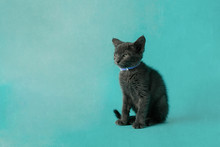 Side Glance Mean Angry Grey Gray Cat Kitten With Green Eyes On A Blue Background