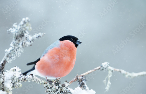 Cuadros en Lienzo Eurasian bullfinch perched on a mossy branch in winter