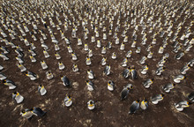 Colony Of King Penguins From A...