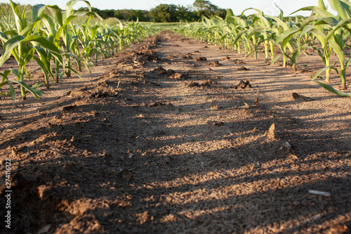 Fotomural Soil-level shot between two rows of young corn.