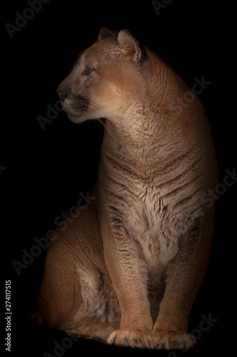 Spoed Fotobehang Puma Beautifulcougar (cougar) gracefully sits. Isolated on black background.