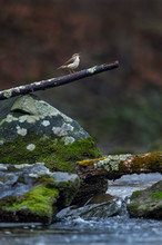 A Louisiana Waterthrush Sings ...