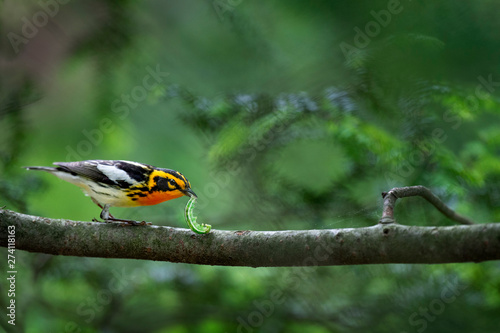Photo A bright orange Blackburnian Warbler holds a huge green caterpillar in its beak while perched on a branch of a hemlock tree
