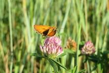 Butterfly On Clover Flower