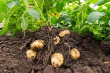Close Up Of Potato Plant And P...