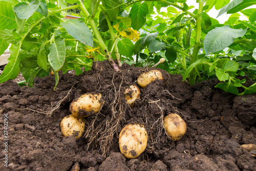 Close up of potato plant and potatoes in soil Fototapeta