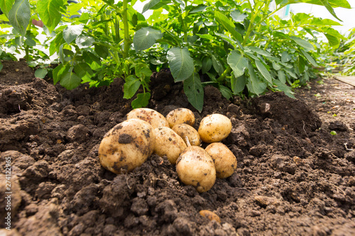 Fotomural First early potatoes - variety is Home Guard
