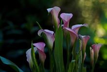 Pink Zantedeschia Aethiopica O...
