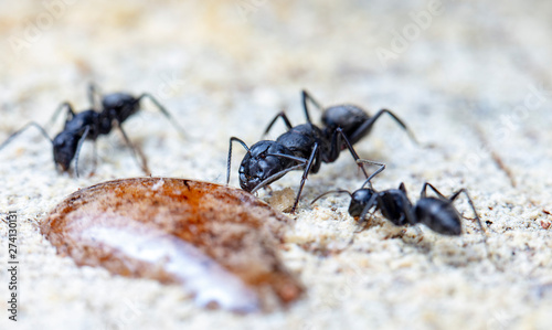 Poster Fleur big forest ants in a native habitat