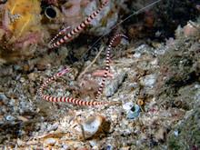 Banded Pipefish (Dunckerocampu...