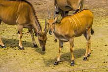 Group Of Common Elands In Clos...