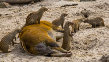 Group Of Banded Mongooses With One Sitting On Top Of A Red River Hog, Animal Togetherness, Funny Animal Behaviors, Tropical Animal Species From Africa