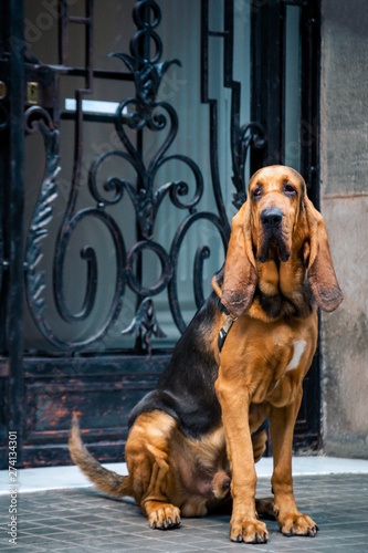 Beautiful young Bloodhound dog Fototapet