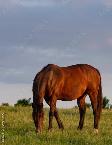 Horse grazing portrait