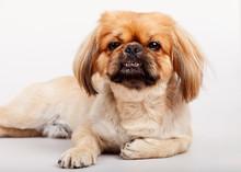 Little Pet Animal Dog